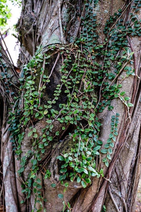 Πράσινα φύλλα στον παχύ κορμό με το φως του ήλιου που λάμπει στην πλάτη στοκ φωτογραφίες