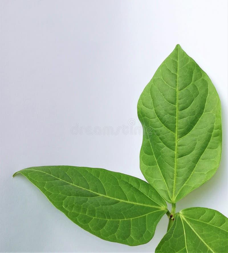 Πράσινα φύλλα στο άσπρο υπόβαθρο στοκ φωτογραφίες