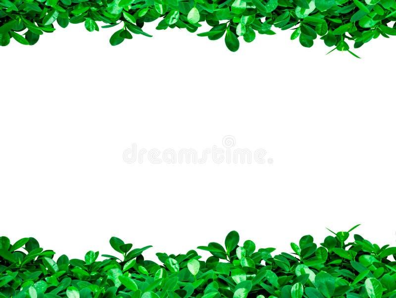 Πράσινα φύλλα στο άσπρο υπόβαθρο με το διάστημα αντιγράφων για το κείμενο στοκ φωτογραφία με δικαίωμα ελεύθερης χρήσης