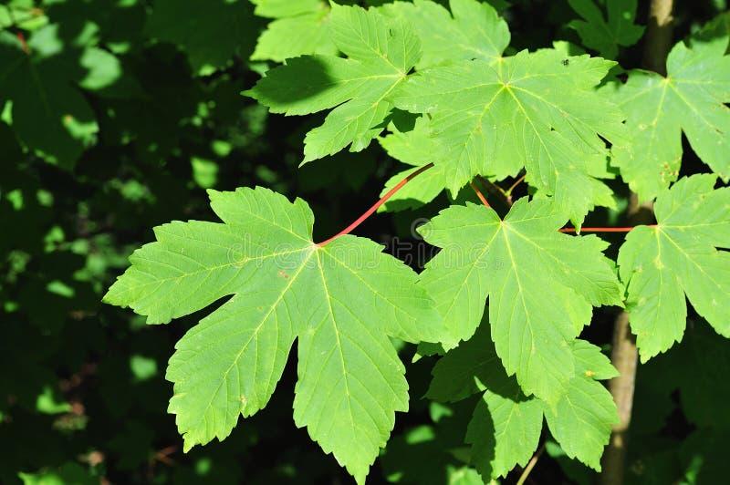 Πράσινα φύλλα σφενδάμου στη φωτεινή ηλιοφάνεια στοκ εικόνες με δικαίωμα ελεύθερης χρήσης