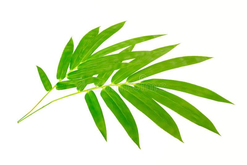 Πράσινα φύλλα του δέντρου plam που απομονώνεται στο άσπρο υπόβαθρο στοκ φωτογραφία με δικαίωμα ελεύθερης χρήσης