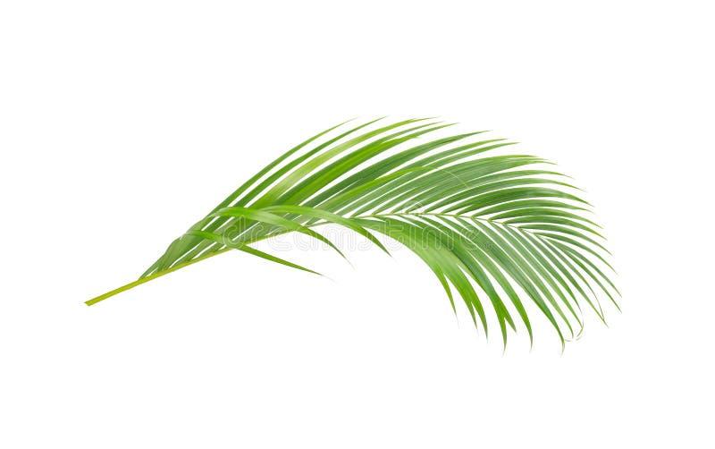 Πράσινα φύλλα του φοίνικα που απομονώνεται στο άσπρο υπόβαθρο στοκ φωτογραφία