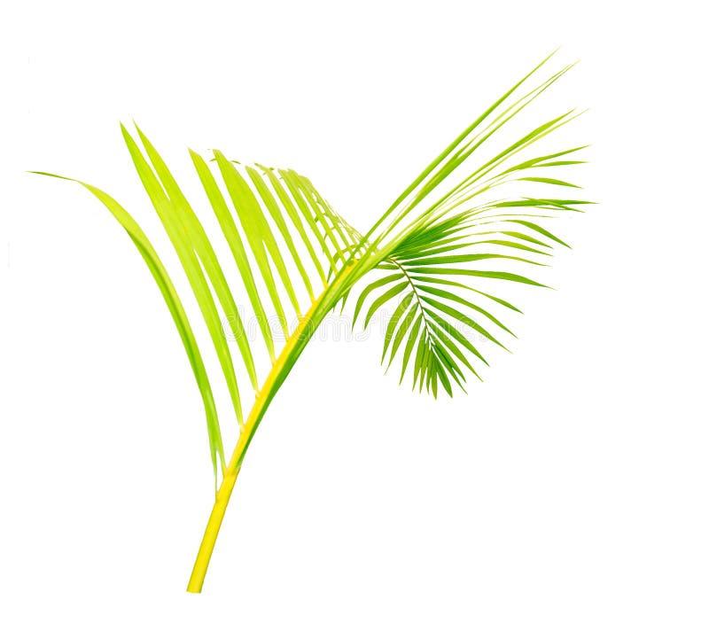Πράσινα φύλλα του φοίνικα που απομονώνεται στο άσπρο υπόβαθρο απεικόνιση αποθεμάτων
