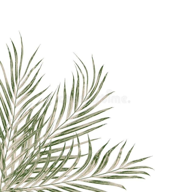 Πράσινα φύλλα του φοίνικα που απομονώνεται στο λευκό διανυσματική απεικόνιση
