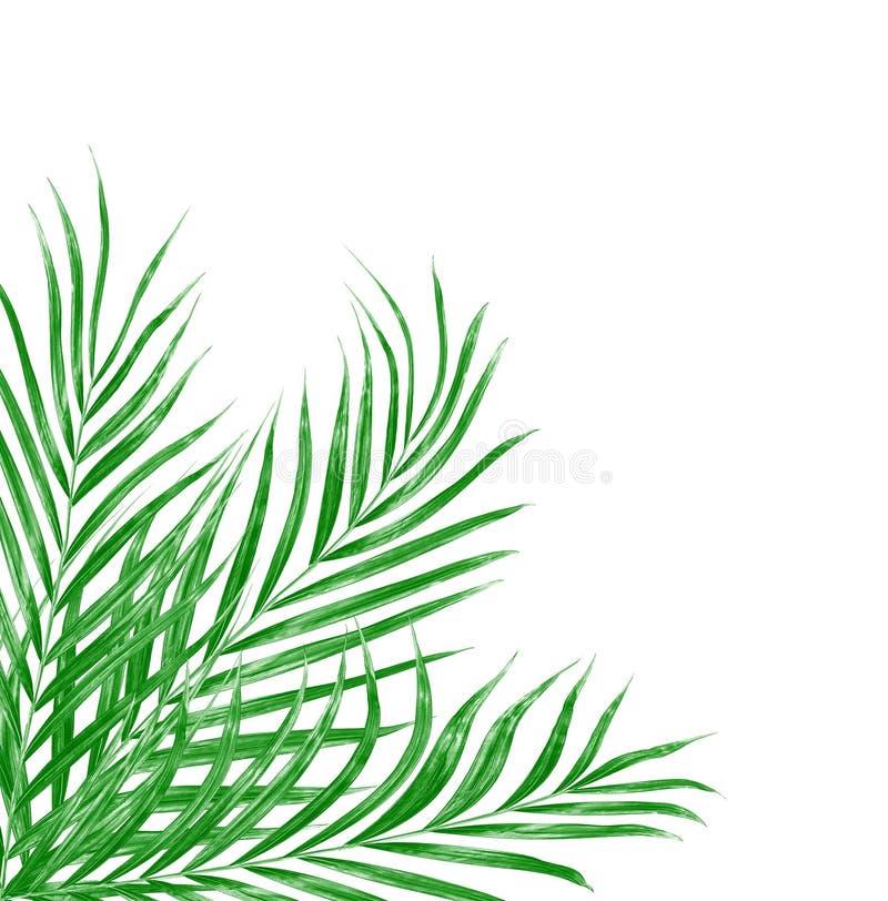 Πράσινα φύλλα του φοίνικα που απομονώνεται στο υπόβαθρο ελεύθερη απεικόνιση δικαιώματος