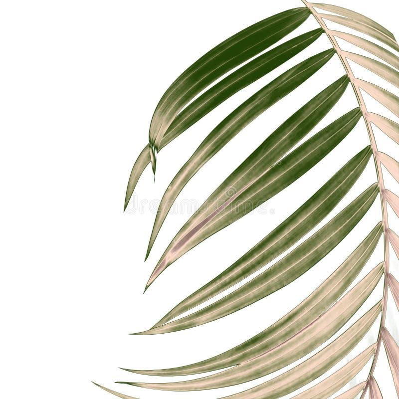 Πράσινα φύλλα του φοίνικα στο άσπρο υπόβαθρο απεικόνιση αποθεμάτων