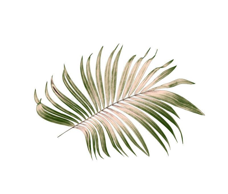 Πράσινα φύλλα του φοίνικα στο άσπρο υπόβαθρο στοκ εικόνες