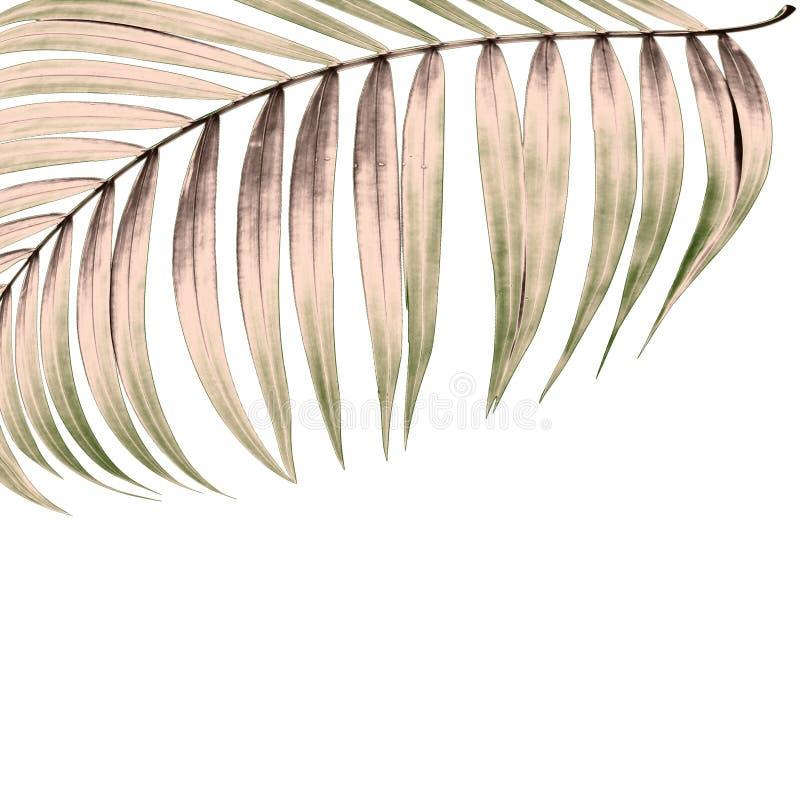 Πράσινα φύλλα του φοίνικα στο άσπρο υπόβαθρο στοκ φωτογραφία
