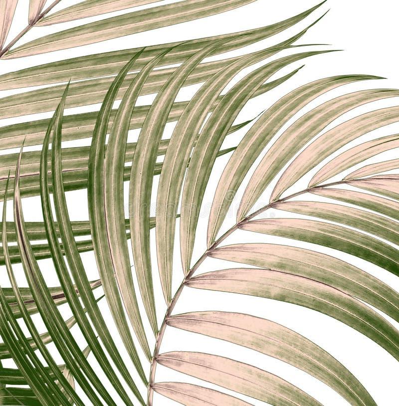 Πράσινα φύλλα του φοίνικα στο λευκό απεικόνιση αποθεμάτων