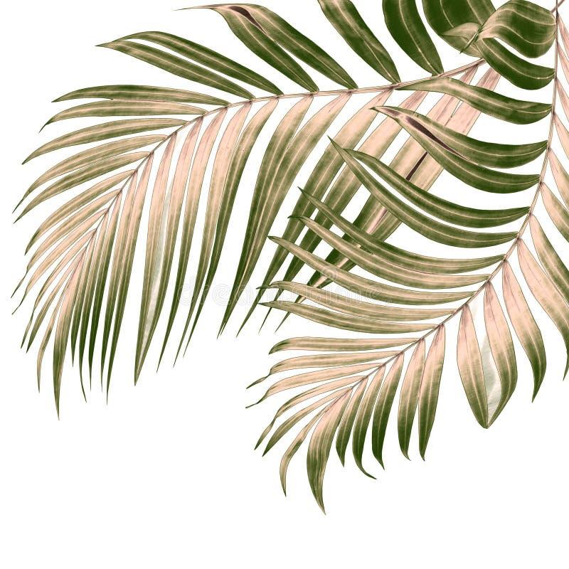 Πράσινα φύλλα του φοίνικα στο λευκό διανυσματική απεικόνιση