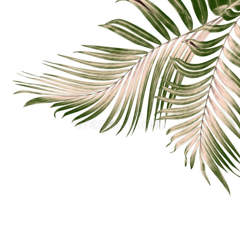 Πράσινα φύλλα του φοίνικα στο λευκό ελεύθερη απεικόνιση δικαιώματος