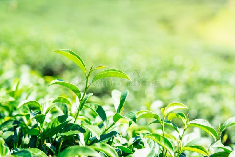 Πράσινα φύλλα τσαγιού κινηματογραφήσεων σε πρώτο πλάνο στη φυτεία τσαγιού στοκ φωτογραφία