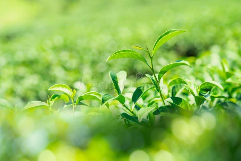 Πράσινα φύλλα τσαγιού κινηματογραφήσεων σε πρώτο πλάνο στη φυτεία τσαγιού στοκ φωτογραφία με δικαίωμα ελεύθερης χρήσης