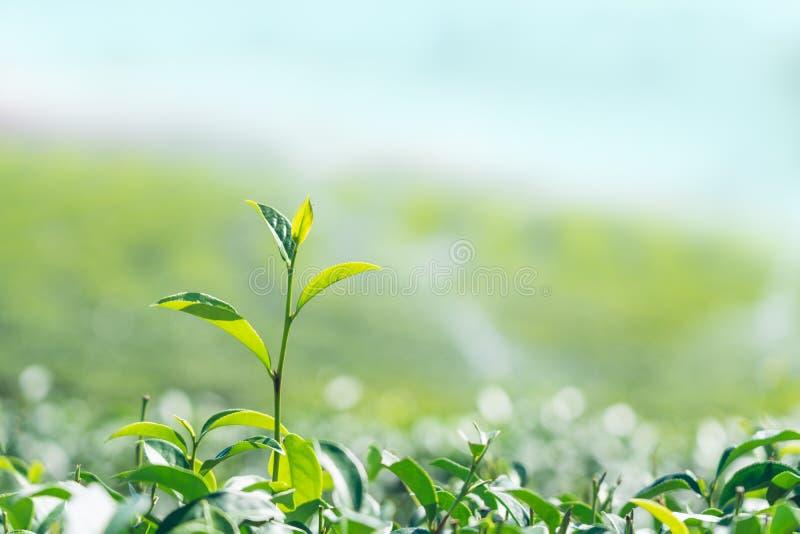 Πράσινα φύλλα τσαγιού κινηματογραφήσεων σε πρώτο πλάνο στο υπόβαθρο φυτειών τσαγιού στοκ φωτογραφία με δικαίωμα ελεύθερης χρήσης