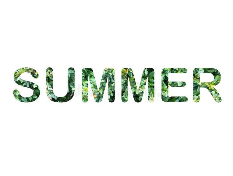 Πράσινα φύλλα των επιστολών θερινής οικολογίας πυξαριού στο άσπρο υπόβαθρο διανυσματική απεικόνιση