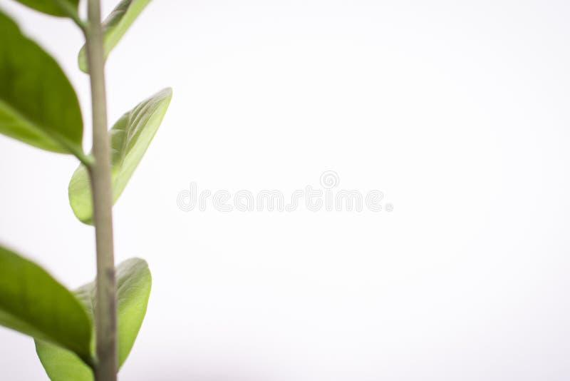 Πράσινα φύλλα των λουλουδιών σε ένα άσπρο υπόβαθρο στοκ φωτογραφία με δικαίωμα ελεύθερης χρήσης