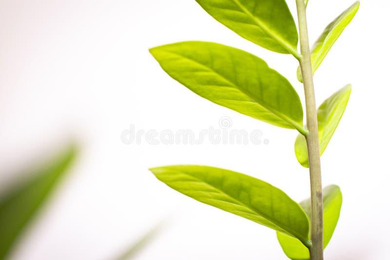 Πράσινα φύλλα των λουλουδιών σε ένα άσπρο υπόβαθρο στοκ φωτογραφίες με δικαίωμα ελεύθερης χρήσης
