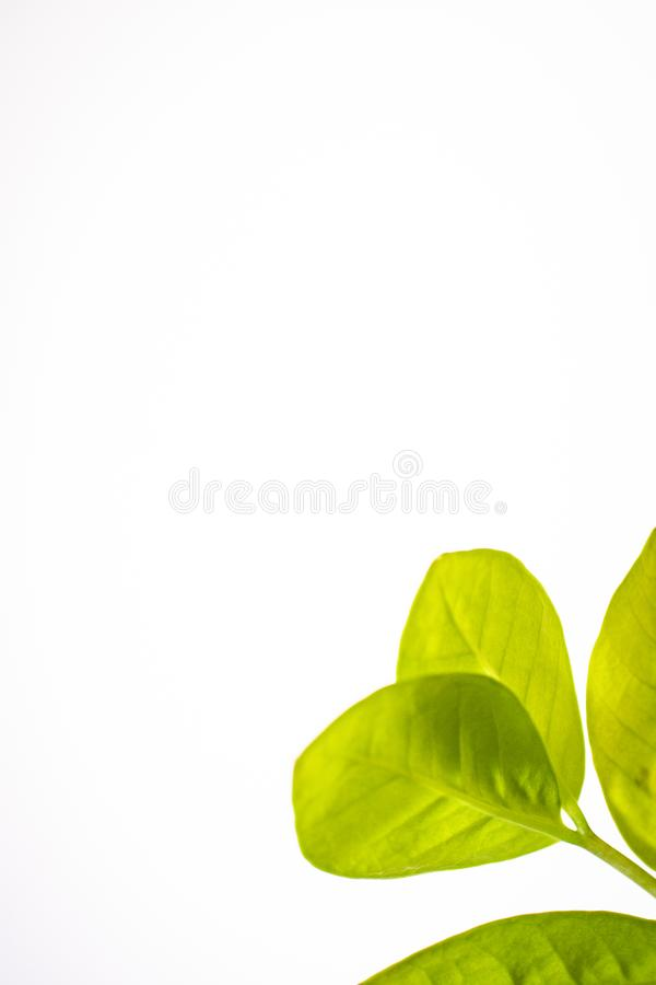 Πράσινα φύλλα των λουλουδιών σε ένα άσπρο υπόβαθρο στοκ εικόνα