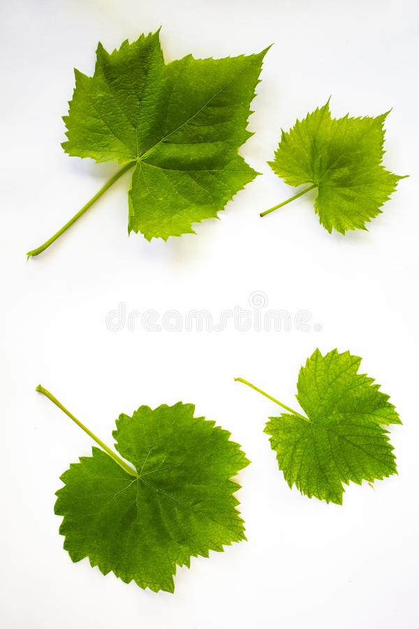 4 πράσινα φύλλα των σταφυλιών σε ένα άσπρο υπόβαθρο στοκ φωτογραφίες