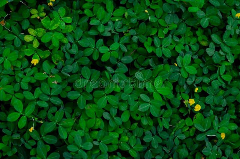 Πράσινα φύλλα υποβάθρου και σύστασης και μερικά κίτρινα λουλούδια Pinto του φυστικιού στοκ εικόνες