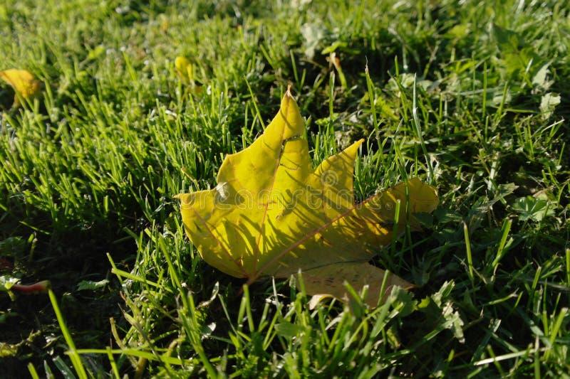 πράσινα φύλλα χλόης φθινοπώ& στοκ εικόνα