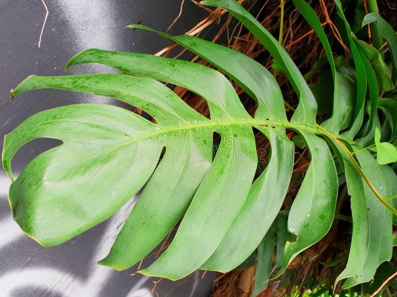 Πράσινα φύλλα monstera ή ελβετικό φυτό τυριών στο συγκεκριμένο υπόβαθρο θαμπάδων στοκ εικόνες με δικαίωμα ελεύθερης χρήσης