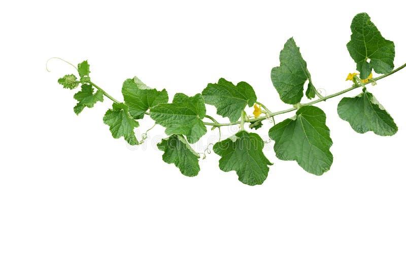 Πράσινα φύλλα Muskmelon πεπονιών με τα κίτρινα λουλούδια και tendrils, leaf-like φυτό αμπέλων κολοκύθας που απομονώνεται στο άσπρ στοκ φωτογραφία με δικαίωμα ελεύθερης χρήσης