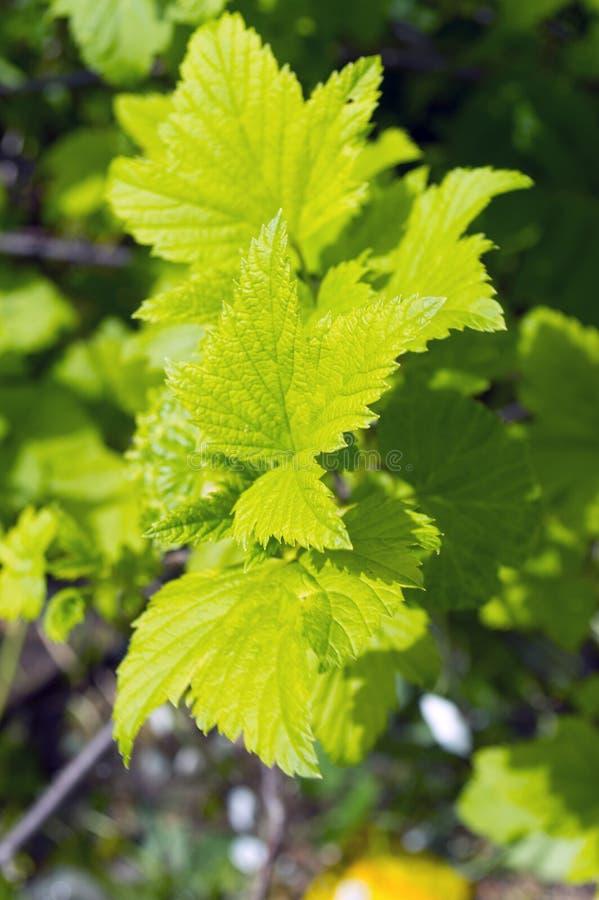 Πράσινα φύλλα του σμέουρου στον ήλιο στοκ εικόνες