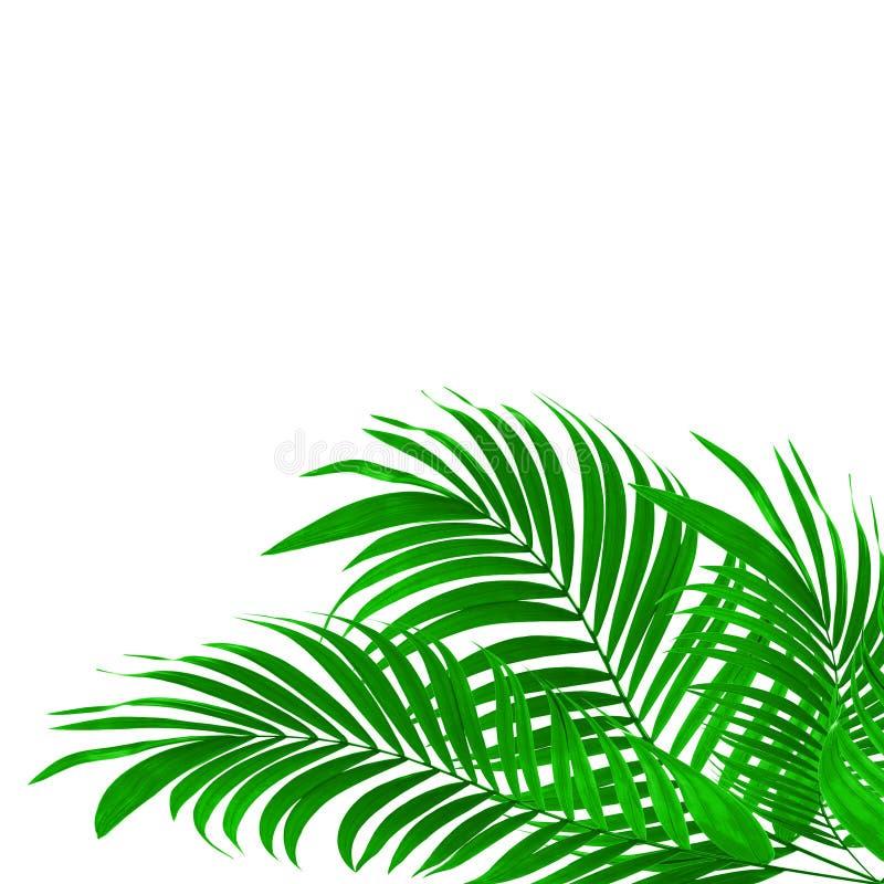Πράσινα φύλλα του φοίνικα ελεύθερη απεικόνιση δικαιώματος