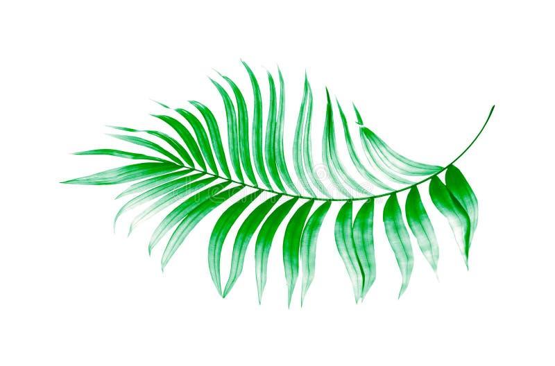 Πράσινα φύλλα του φοίνικα διανυσματική απεικόνιση