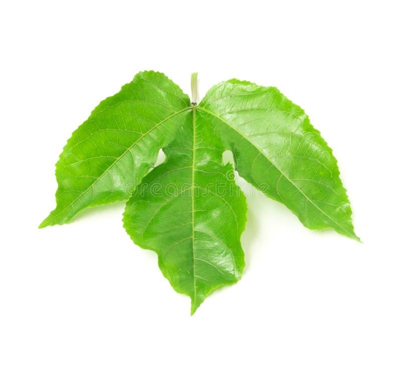 Πράσινα φύλλα του λωτού στο άσπρο υπόβαθρο στοκ εικόνα με δικαίωμα ελεύθερης χρήσης