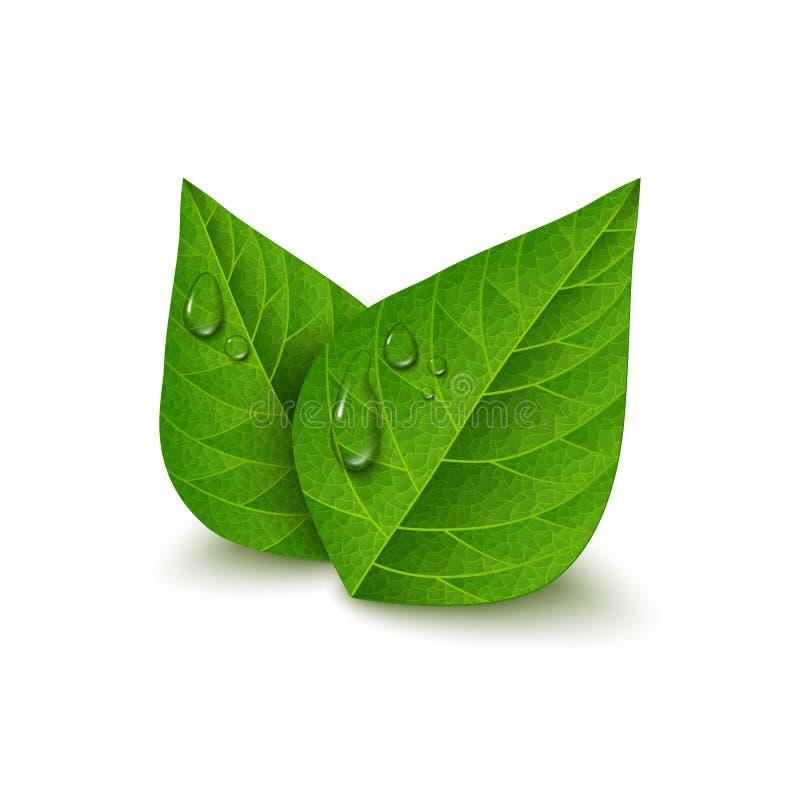 Πράσινα φύλλα τσαγιού με τις πτώσεις νερού απεικόνιση αποθεμάτων