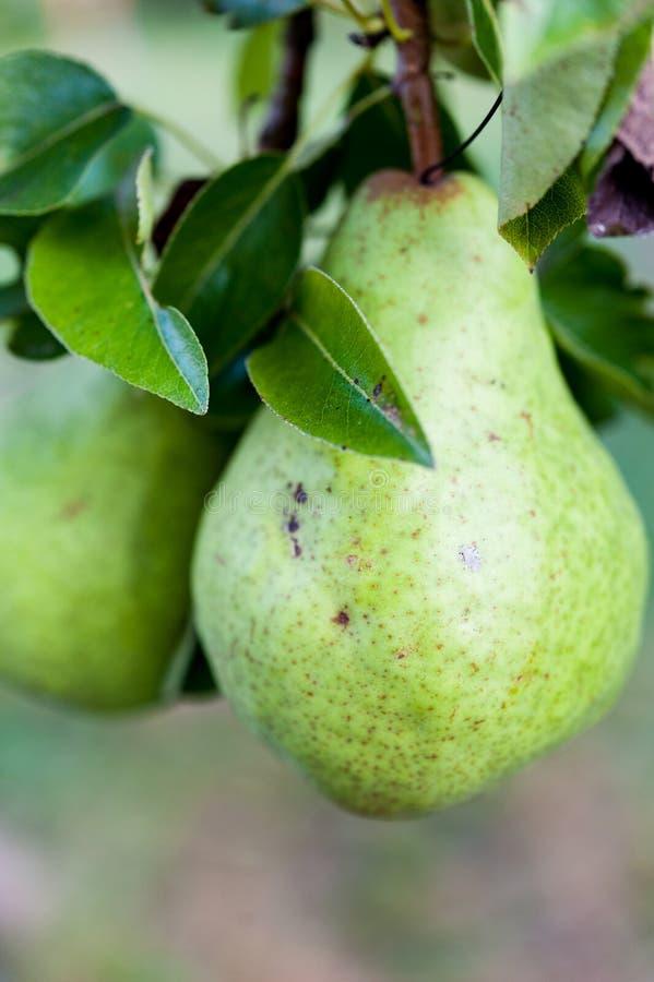 Πράσινα Bartlett αχλάδια ή αχλάδια του Ουίλιαμς που αυξάνονται στο δέντρο αχλαδιών στοκ φωτογραφία με δικαίωμα ελεύθερης χρήσης