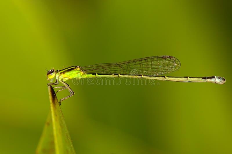 Πράσινα damselflies στοκ φωτογραφία με δικαίωμα ελεύθερης χρήσης