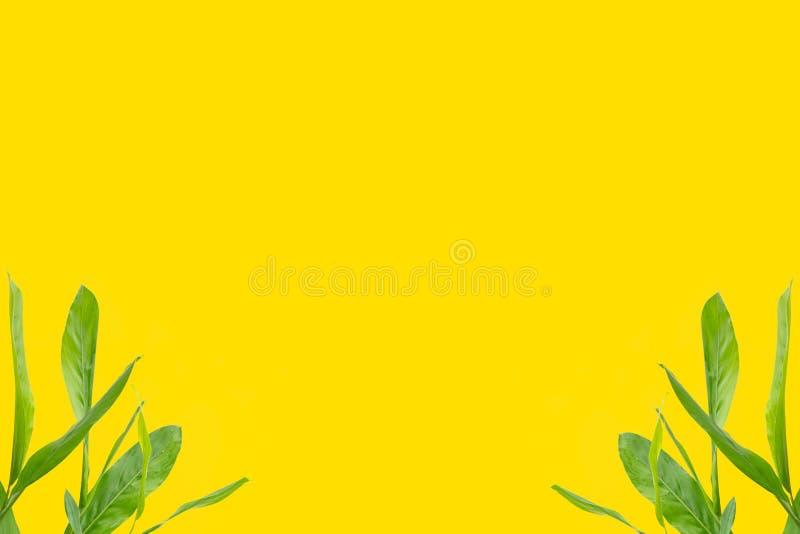 Πράσινα galangal φύλλα στη φωτεινή κίτρινη επίπεδη δημιουργικότητα θερινής έννοιας υποβάθρου ελάχιστη στοκ εικόνα με δικαίωμα ελεύθερης χρήσης