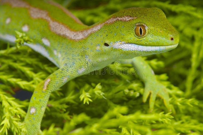 Πράσινα gecko γών του βορρά/grayii Naultinus στοκ εικόνα με δικαίωμα ελεύθερης χρήσης