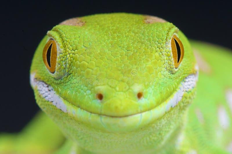 Πράσινα gecko γών του βορρά/grayii Naultinus στοκ εικόνες