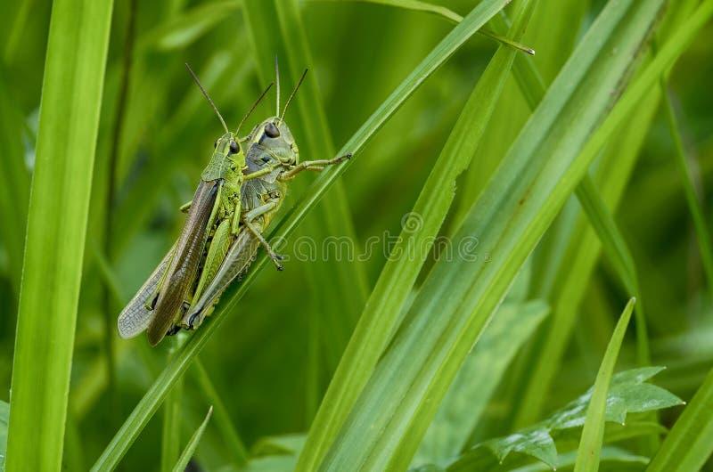 Πράσινα Grasshoppers στοκ εικόνες