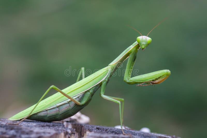 Πράσινα mantis επίκλησης στο λουλούδι στοκ εικόνα με δικαίωμα ελεύθερης χρήσης