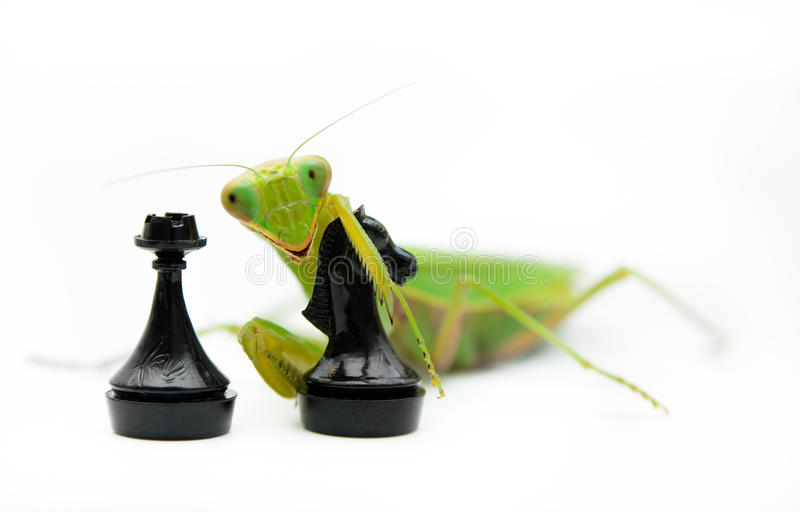 Πράσινα mantis με το μαύρο κομμάτι σκακιού ιπποτών στο άσπρο υπόβαθρο, στοκ εικόνα