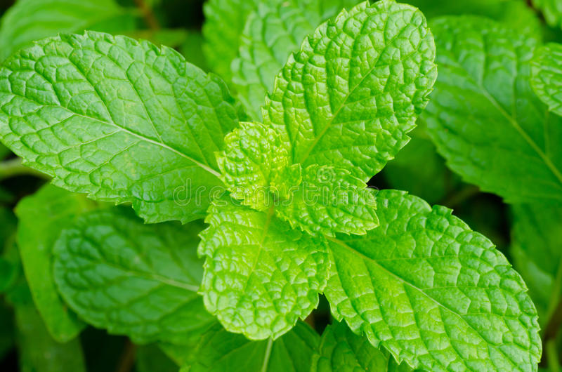 Πράσινα peppermint φύλλα στοκ φωτογραφία με δικαίωμα ελεύθερης χρήσης