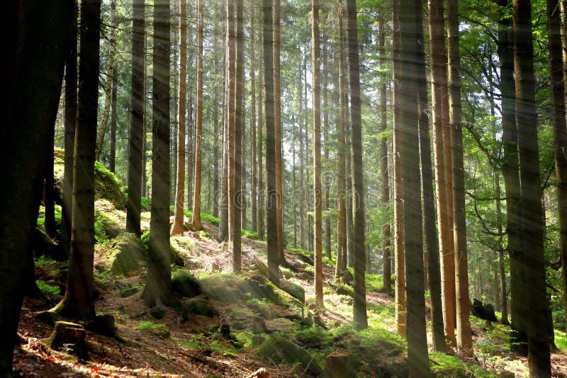 Πράσινες δάσος και ακτίνες του φωτός στοκ φωτογραφία