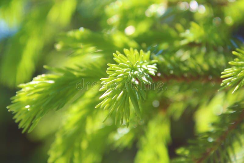 πράσινες βελόνες στοκ εικόνα