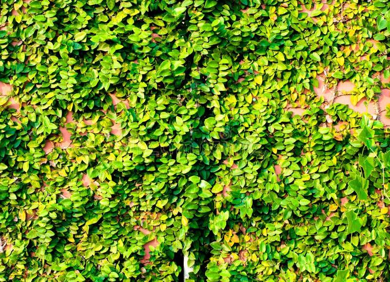 Πράσινες εγκαταστάσεις αναρριχητικών φυτών στον κόκκινο τοίχο στοκ φωτογραφία με δικαίωμα ελεύθερης χρήσης