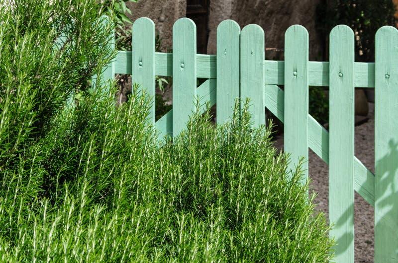 Πράσινες εγκαταστάσεις δεντρολιβάνου μπροστά από έναν τυρκουάζ φράκτη στοκ εικόνες