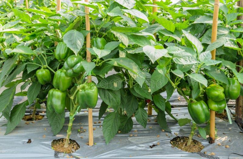 Πράσινες εγκαταστάσεις πιπεριών κουδουνιών στοκ φωτογραφία με δικαίωμα ελεύθερης χρήσης