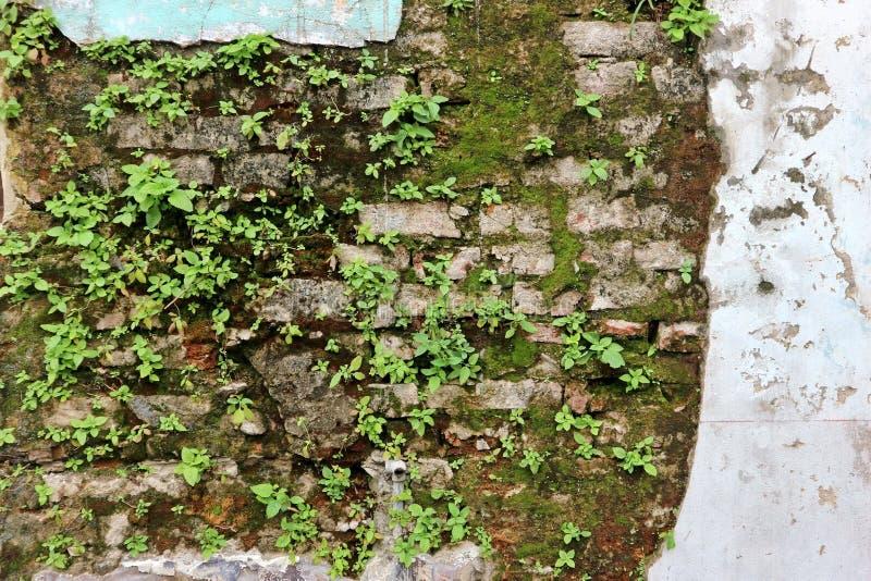 Πράσινες εγκαταστάσεις στον παλαιό τουβλότοιχο στοκ φωτογραφία με δικαίωμα ελεύθερης χρήσης