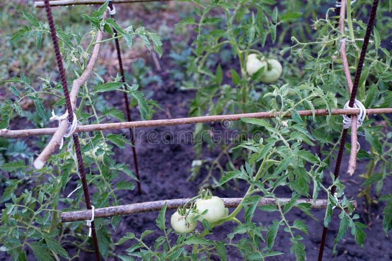 Πράσινες νέες ντομάτες που αυξάνονται στον κήπο στοκ φωτογραφία με δικαίωμα ελεύθερης χρήσης