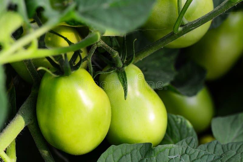 Πράσινες ντομάτες σε έναν φυτικό κήπο καλλιέργεια Υπόβαθρο φυτικών κήπων closeup στοκ εικόνα με δικαίωμα ελεύθερης χρήσης