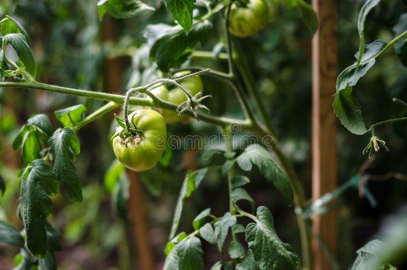 Πράσινες ντομάτες στους κλάδους στοκ εικόνες με δικαίωμα ελεύθερης χρήσης